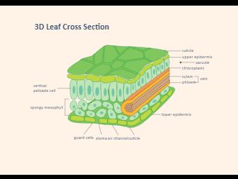 3D Leaf Biology Diagram