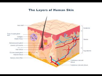 Human Skin Layers - Biology Diagram