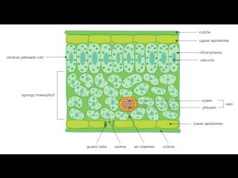 Leaf Cross Section - Biology Diagram
