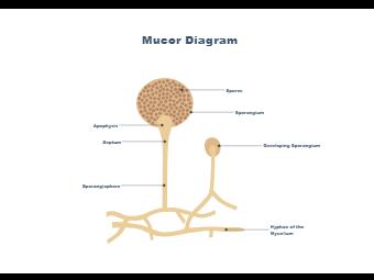 Mucor Diagram - Biology Diagram