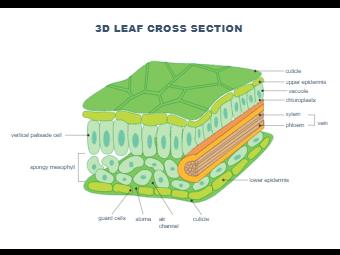 3D Leaf Cross Section - Biology Diagram