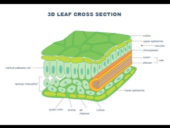 Leaf Biology Drawing