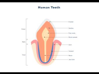 Incisor Tooth Anatomy