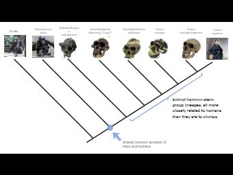 Hominini Phylogenetic Tree