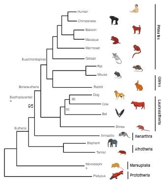 Mammals Topology Phylogenetic Tree