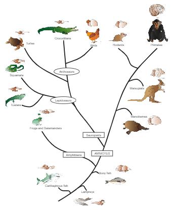 Vertebrate Phylogenetic Tree